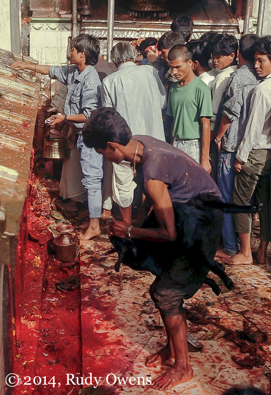 At the Dakshinkali temple near Kathmandu, male goats and cocks are sacrificed, washed in a stream, and then prepared to be eaten (taken 1989).
