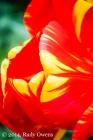 Tulip Blossom Color, 1