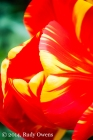 Tulip Blossom Color, 1
