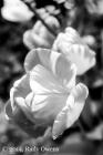 Tulip Blossom B&W, 1