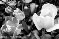 Tulip Blossom B&W, 2