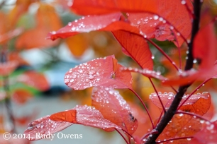 Droplets collect on a smoke tree's leaves in Seattle (2012).
