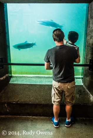 A father and son watch migrating sockeye in the viewing area where salmon can swim up fish ladders on their way to breeding grounds upstream. (Taken in July 2014.)