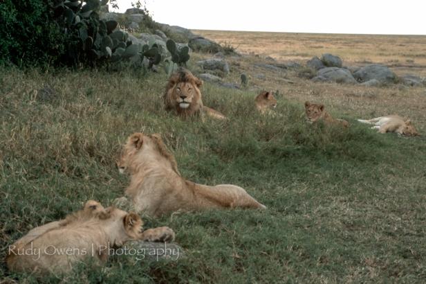 LIons Sleeping Picture Tanzania