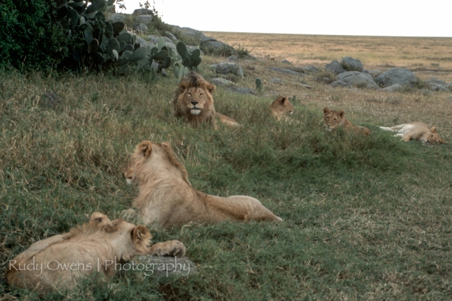 LIons Sleeping Picture Tanzania