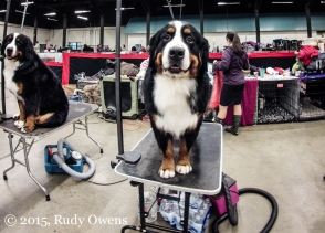 Burmese Mountain Dog Photo