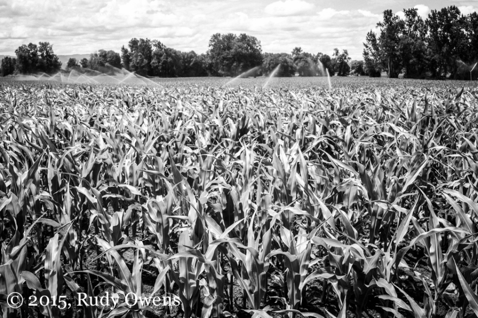 Oregon Corn Photo