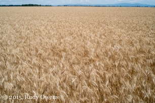 Wheat Photograph, Oregon