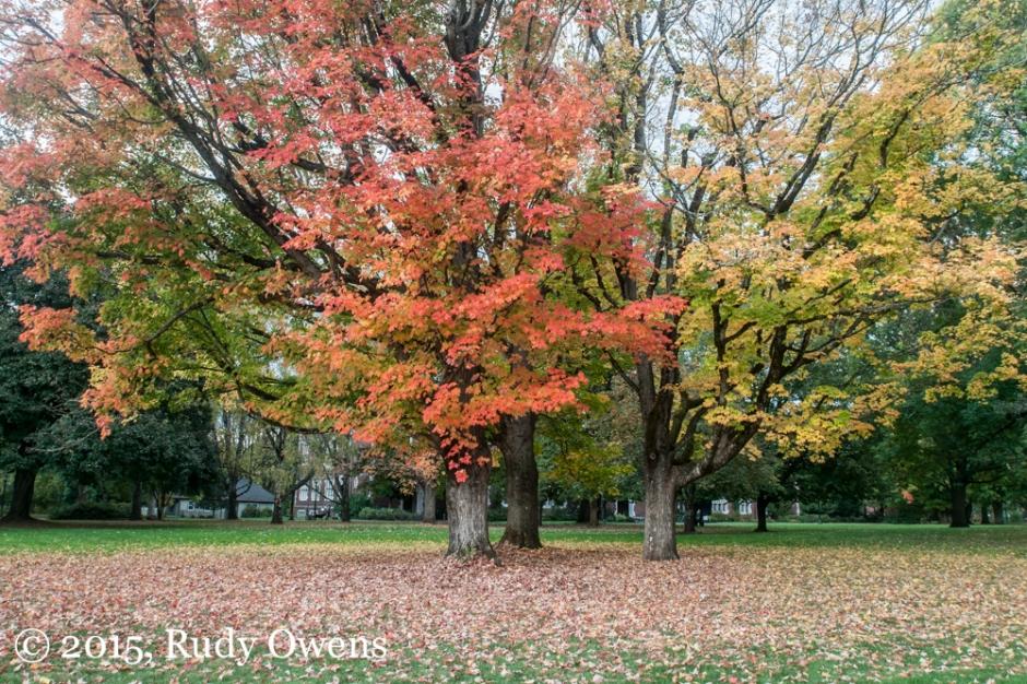 Maple Glow, Portland, Oregon