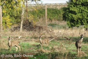 Urban Deer, near Salem, Oregon