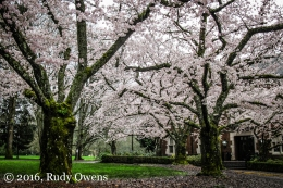Cherry Trees, Reed College