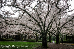 Cherry Trees in Bloom, March 2016