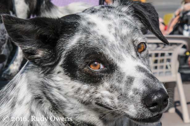 I am a huge fan of the herding breeds, including the Texas heeler.
