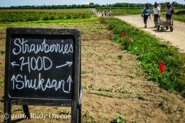 Sauvie Island Farm U-Pick Strawberries