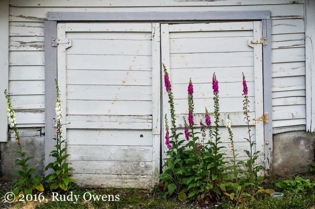 Foxgloves, Portland