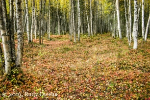 Birch Forest in Fall, Chugach State Park