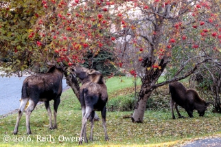 Anchorage Moose Fall Incursion
