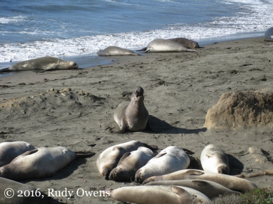 The Elephant Seal Alpha