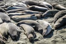 Resting Elephant Seals, Piedras Blancas Beach
