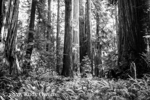 The arch druids of North America: California's redwoods