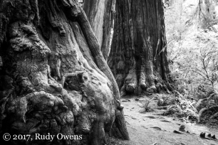 Might redwoods of Jedediah Smith Redwood State Park