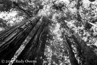 The forest canopy in Jedediah Smith Redwood State Park