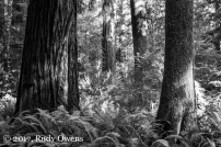 A grove in Jedediah Smith Redwood State Park