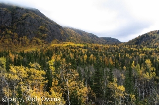 Birch trees turn golden in the fall air.