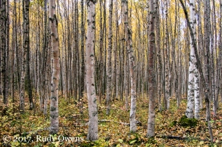 Birch trees in the Eagle River valley