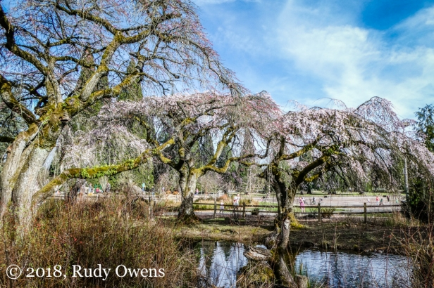Westmoreland Park Blossoms (March 2018)