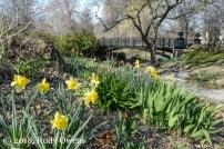 Daffodils in Lafayette Square STL (4-18)