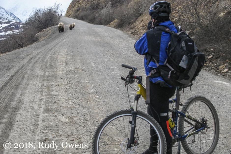 Denali Bears and Mt Biker May 2010