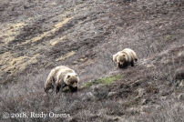 Denali Mom and Cubs May 2010