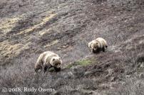 Denali Mom and Cubs May 2010