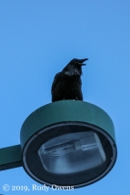 Raven Watching Over the Start Downtown