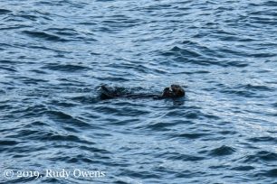 Sea Otter Swimming by Seward